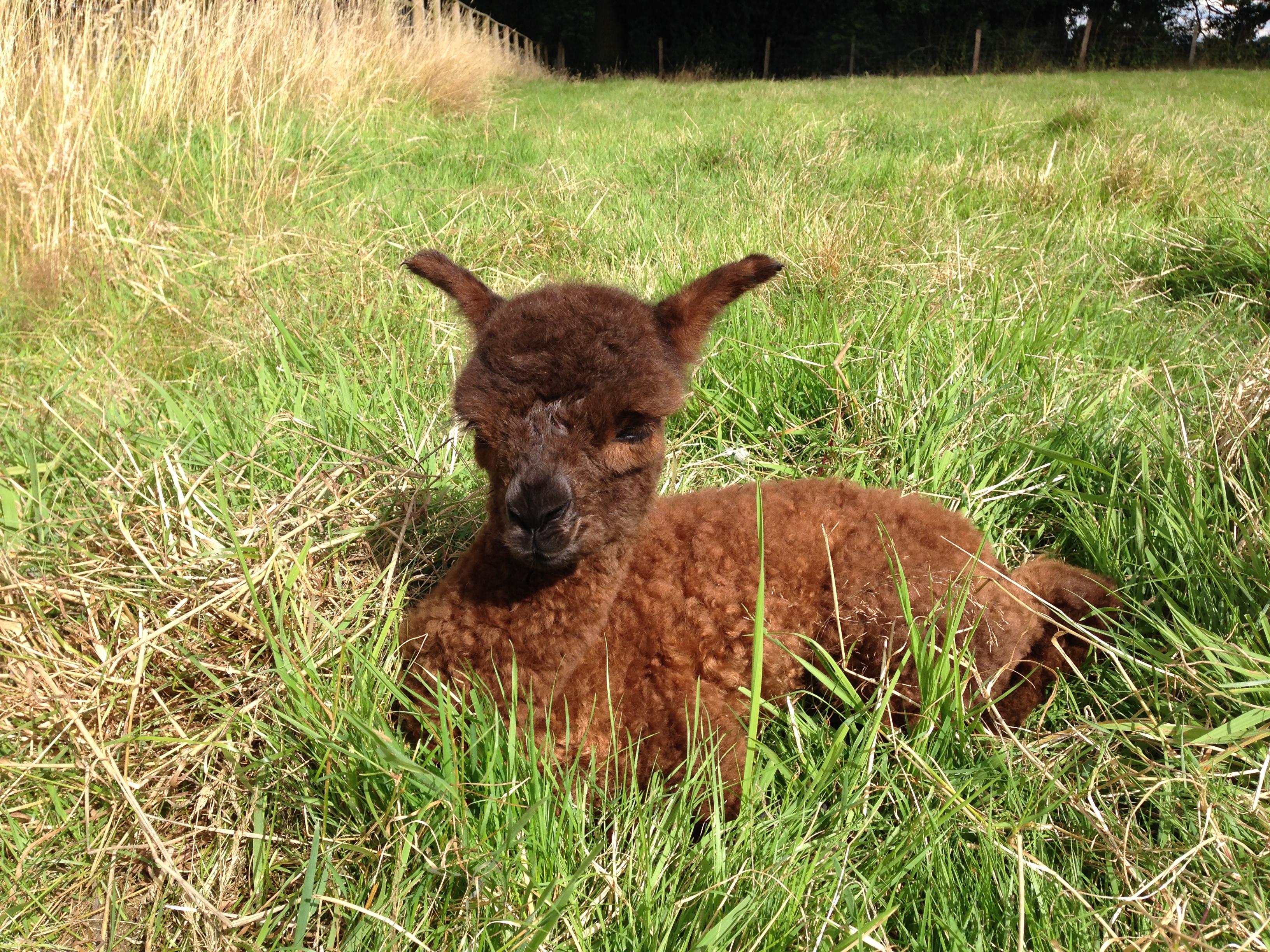 Shareshill Alpacas