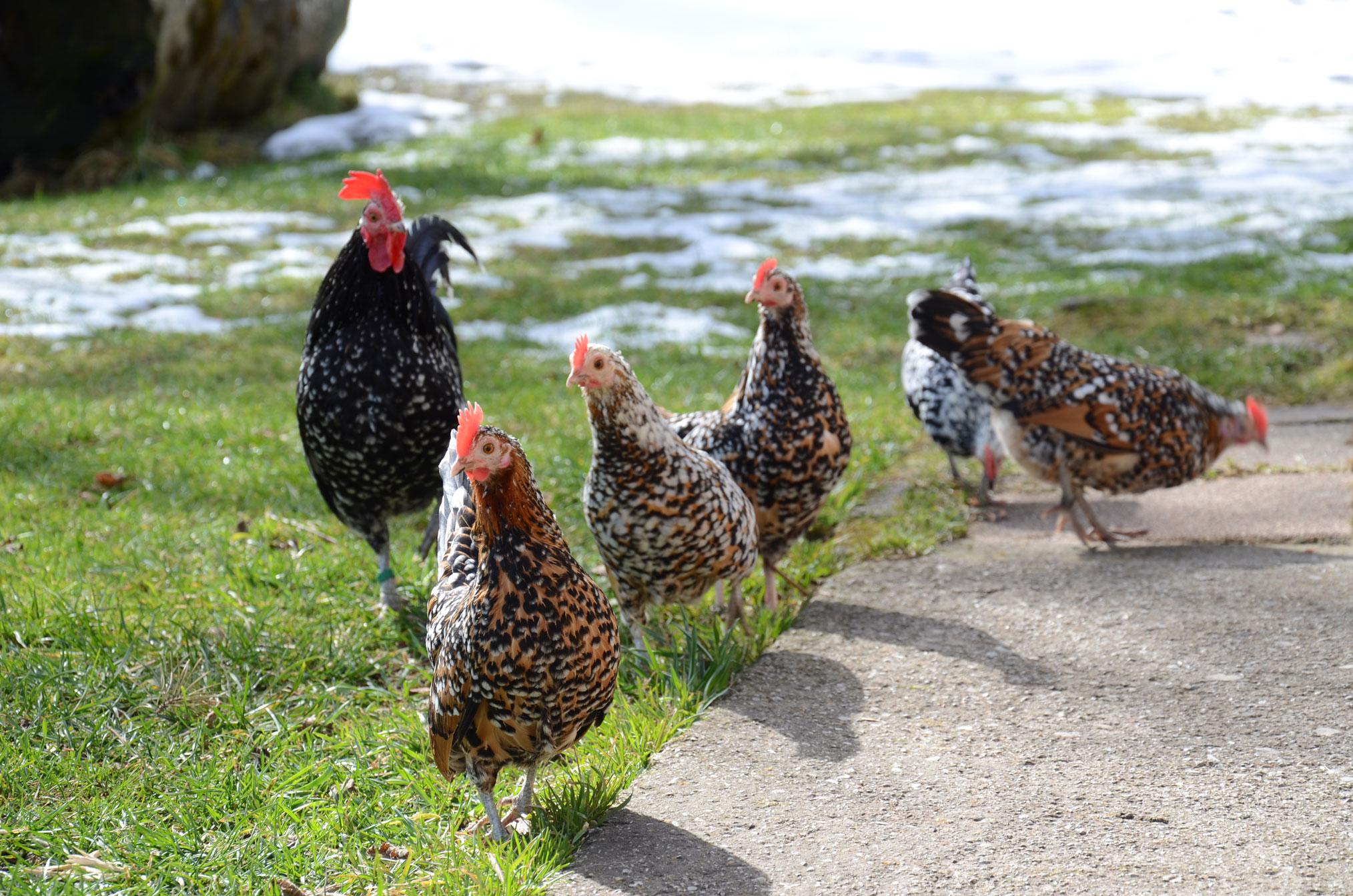 Kempichlhof - Bio Fleisch von Lamm und Kitz, Bio Eier, Schaf- und Ziegenfelle