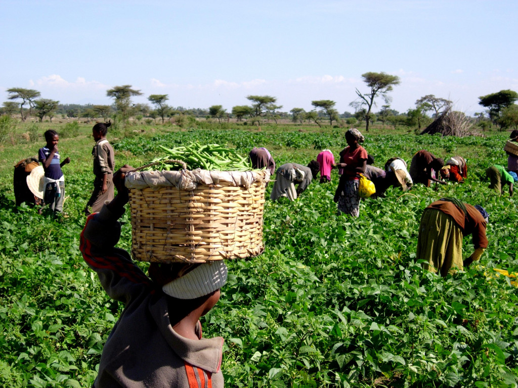 Green beans plantation in Kenya. Fertile land and water precious to local communities is virtually exported when beans are sold to European consumers. Kenyan beans are exported all year round although green beans can also be grown seasonally in European countries (Photo: Creative Commons)