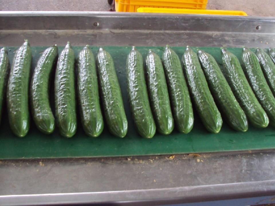 komkommers_op_lopende_band_005.jpg