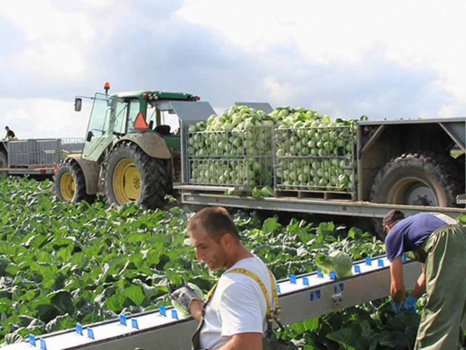 spitskool-oogsten.jpg