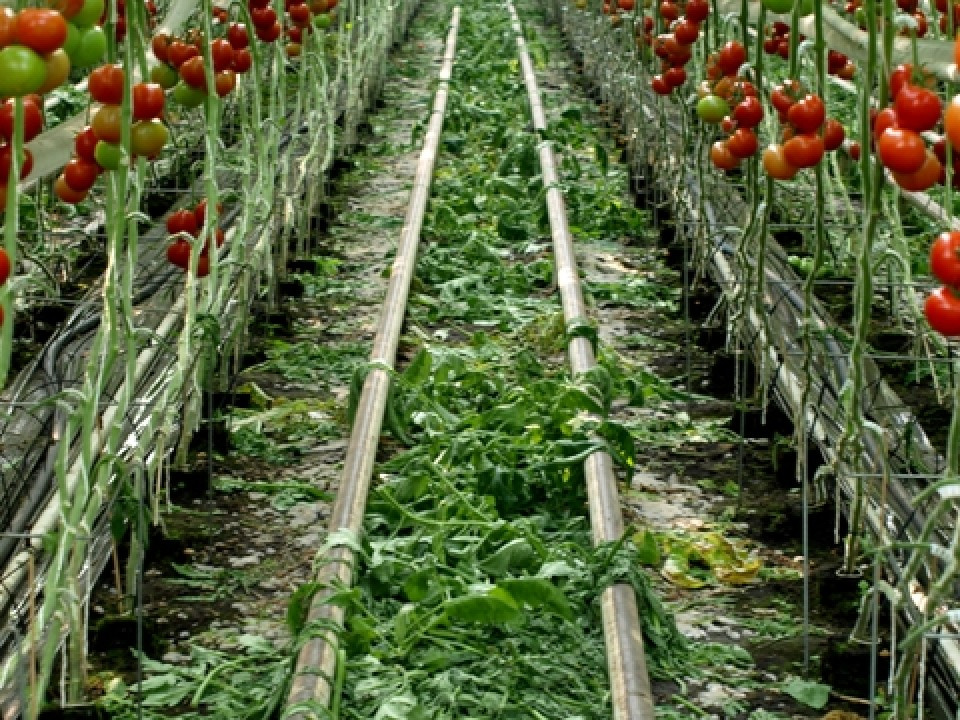 tomatenpad.jpg