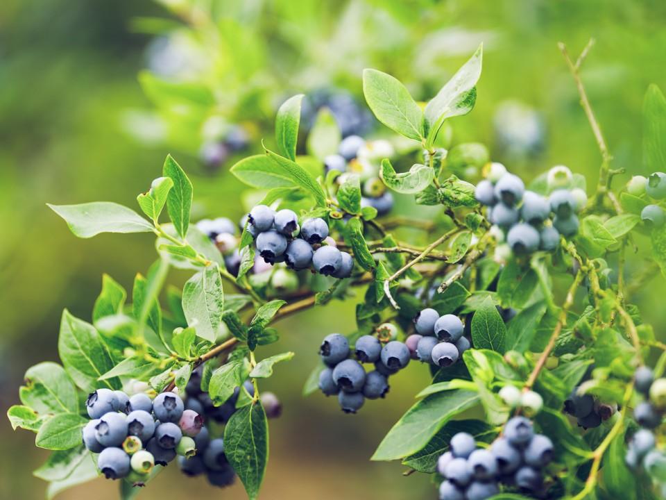 blauwe-bes-drenthe-11.jpg