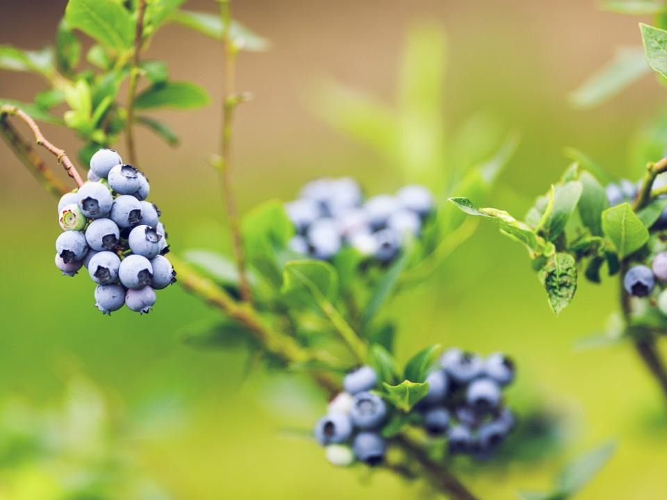 blauwe-bes-drenthe-12.jpg