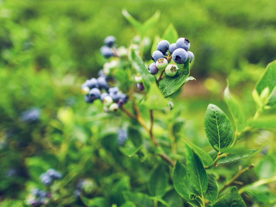 blauwe-bes-drenthe-25.jpg