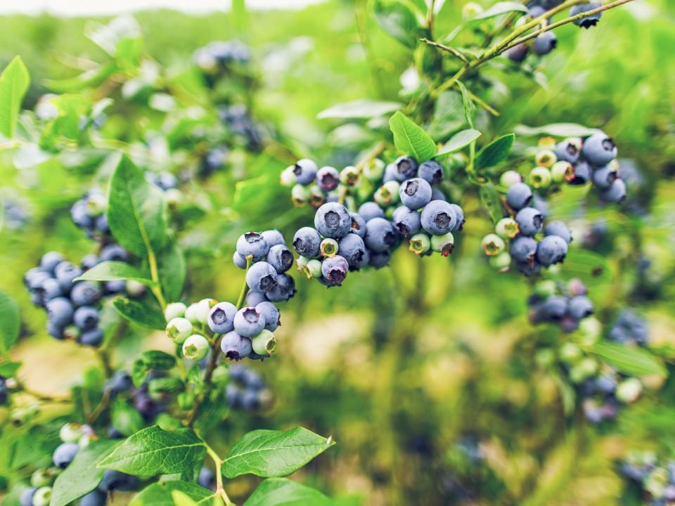 blauwe-bes-drenthe-26.jpg