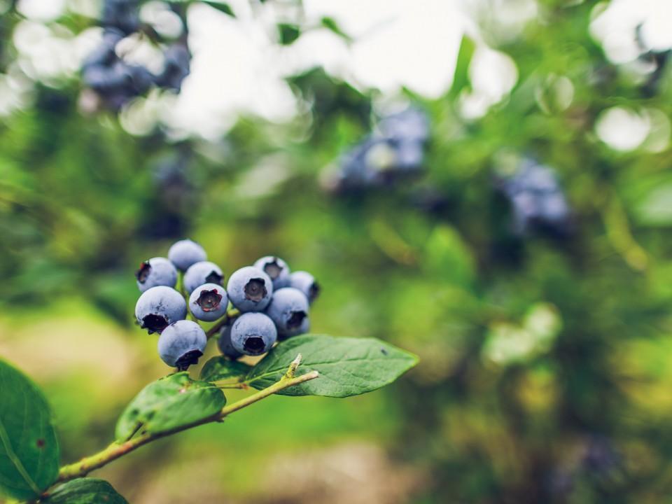 blauwe-bes-drenthe-27.jpg