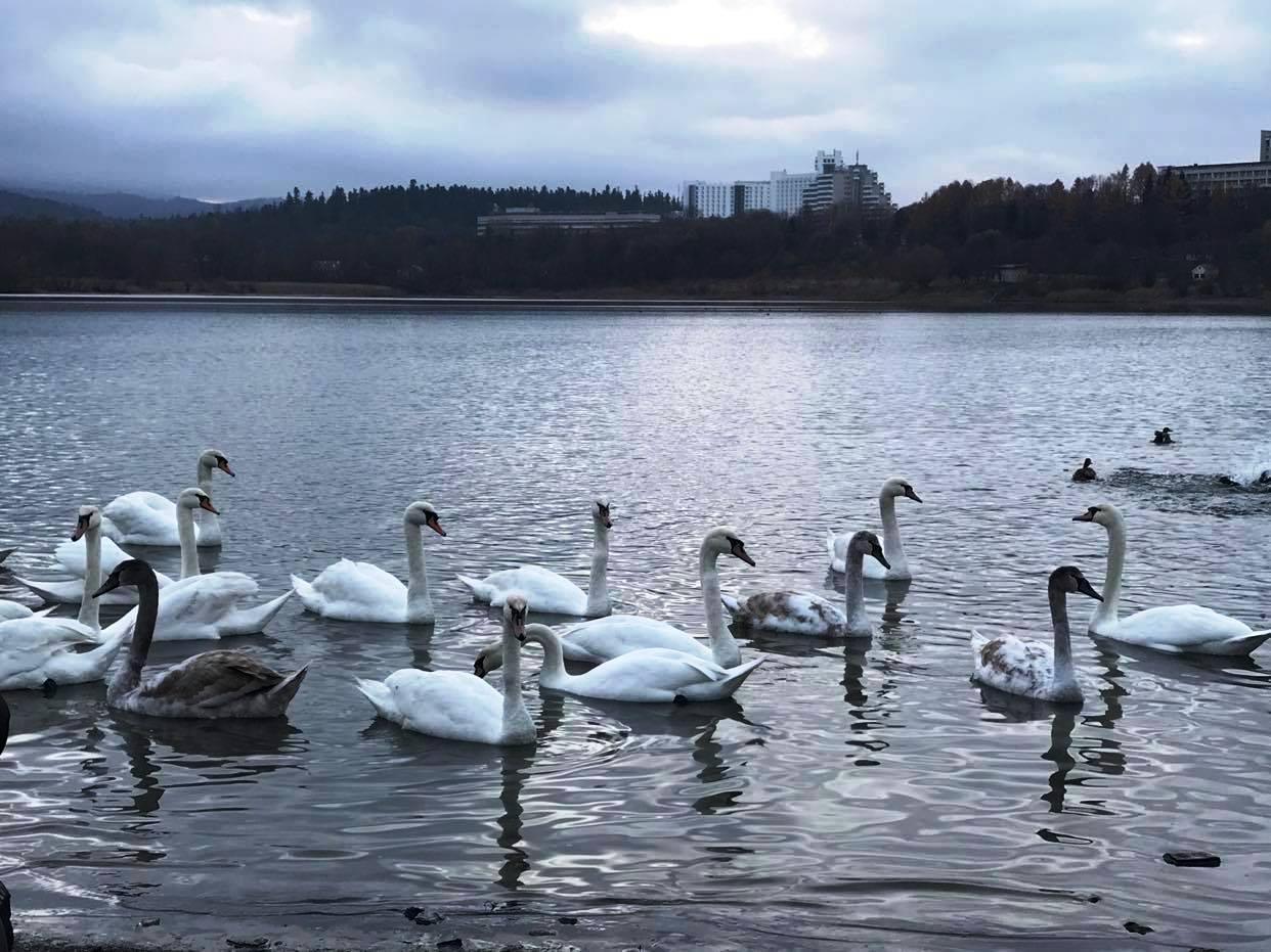Трускавчан просять не годувати лебедів, які оселилися на питному озері