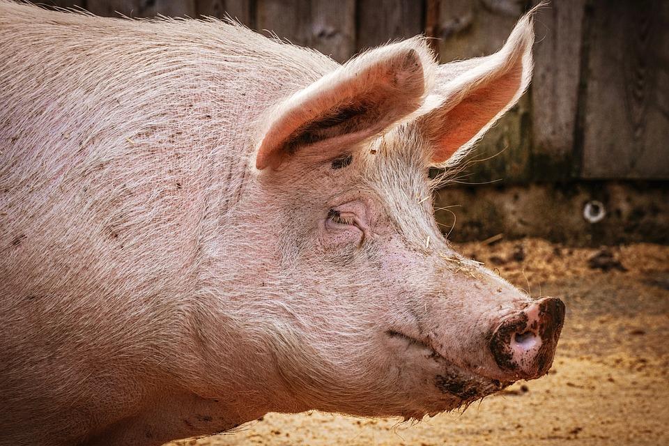 Ученые: пересадка свиных сердец людям станет реальностью через 3 года