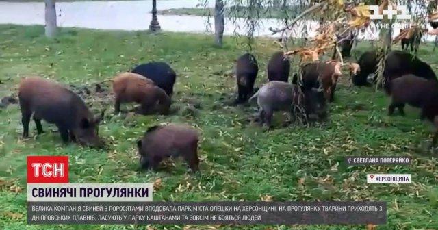 В Херсонской области большая компания диких кабанов облюбовала местный парк