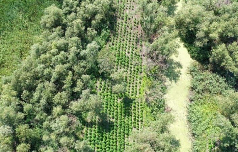 ВОдесской области нашли ухоженную плантацию конопли: «садоводы» прятали растения между озерами