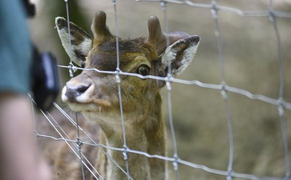 У лісі на Волині живе ручний олень Борька. ФОТО - Спец проект UNP