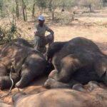 Таинственная бактерия продолжает истреблять слонов в Африке
