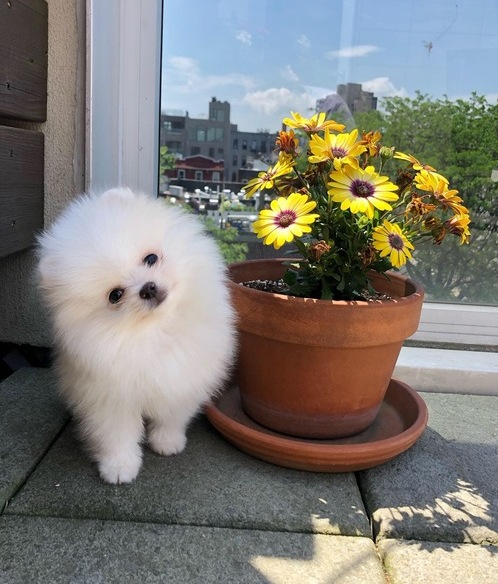 Absolutely Luxurious, cream/white Pomeranian boy