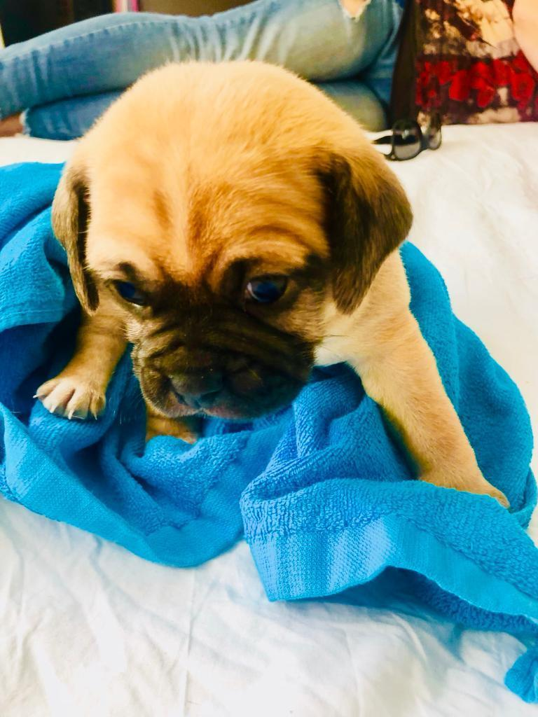 Boston pug and puggle mix puppies for sale-image-1