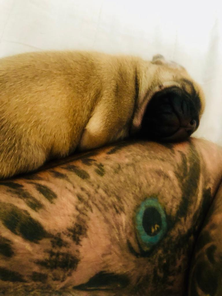 Boston pug and puggle mix puppies for sale-image-2