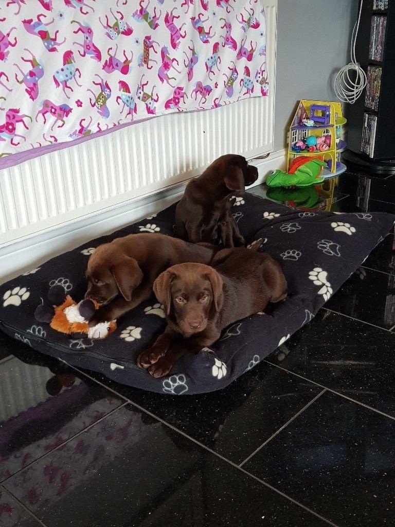 Labrador puppies-image-1