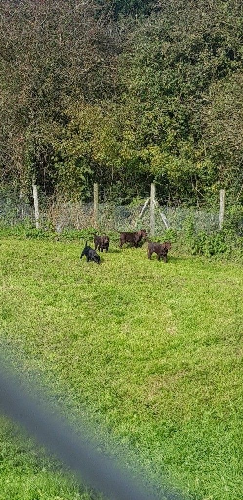 Labrador puppies-image-2