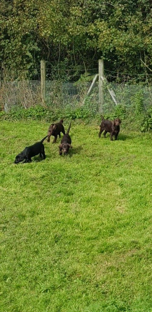 Labrador puppies-image-3