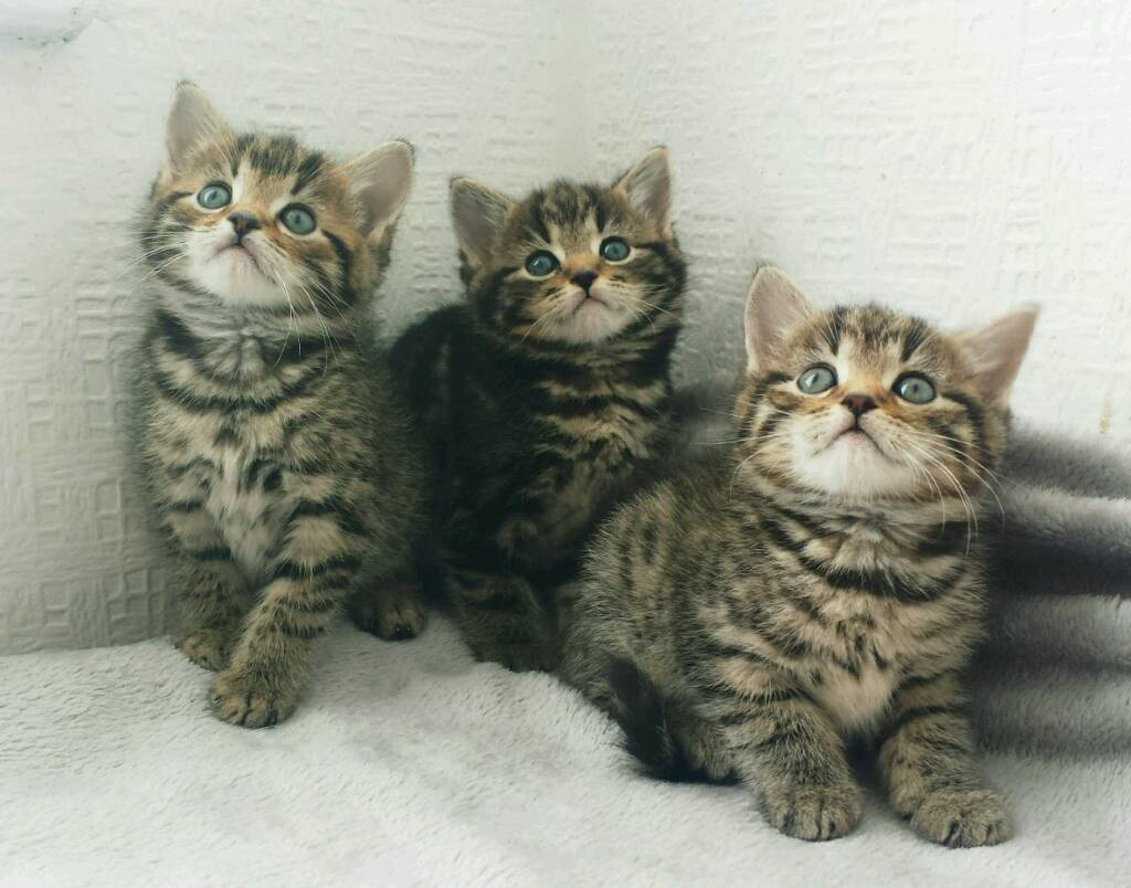 🏡❤AMAZING KITTENS ready today-image-2