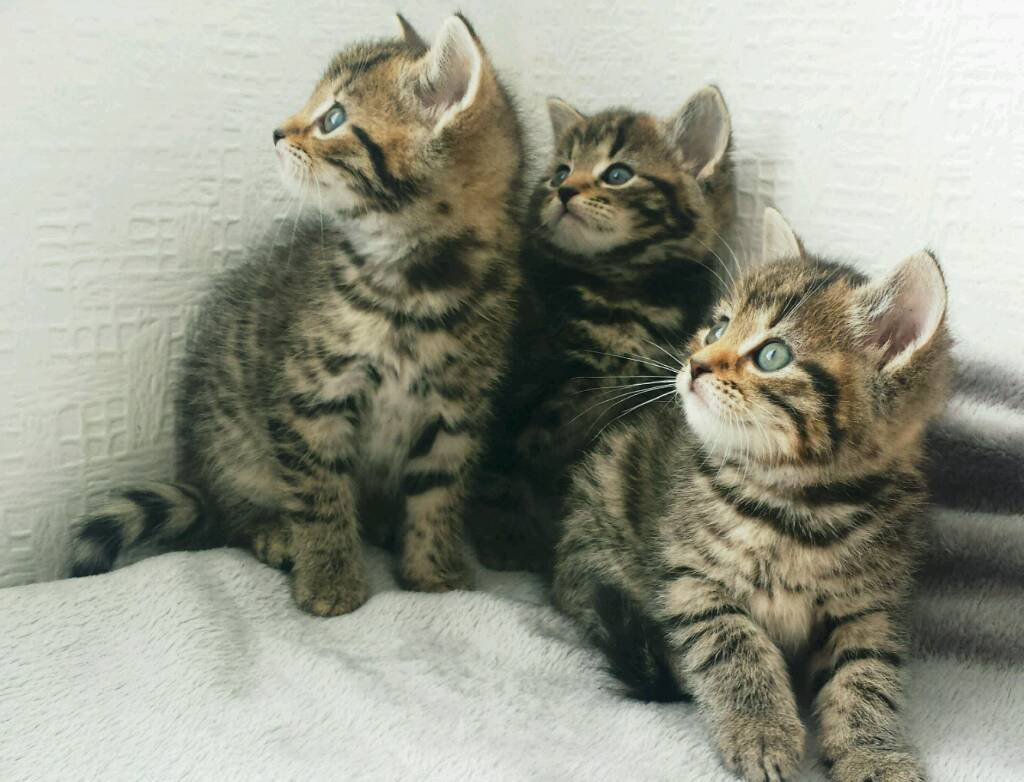 🏡❤AMAZING KITTENS ready today-image-3