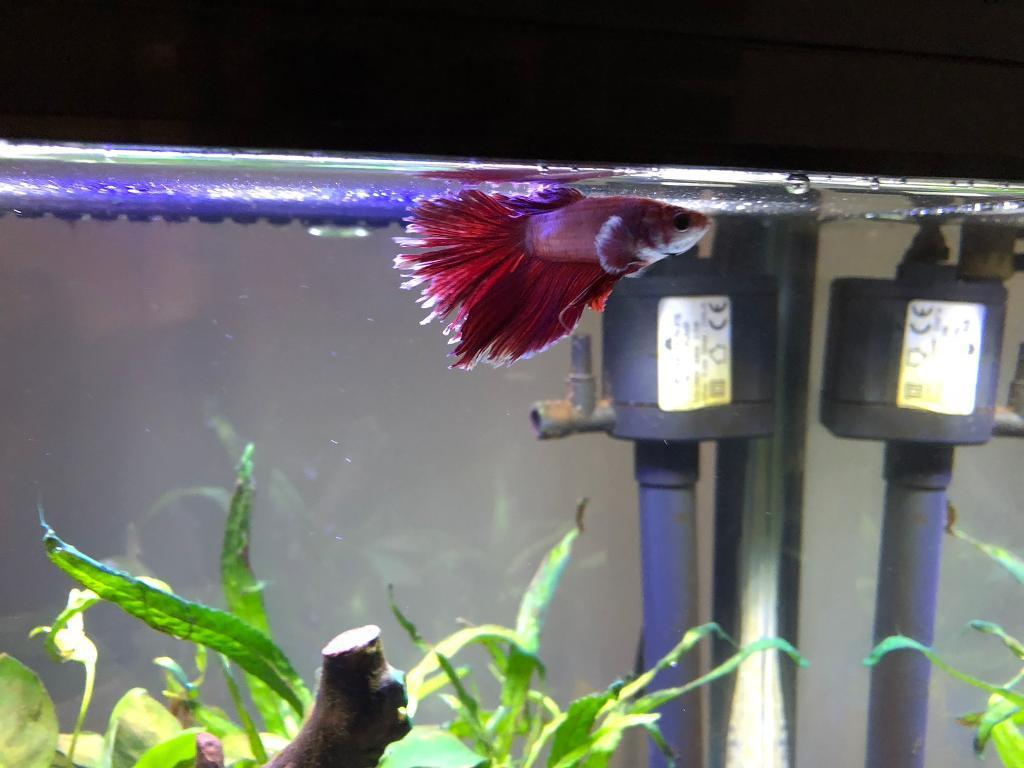 Betta fish tank-image-3