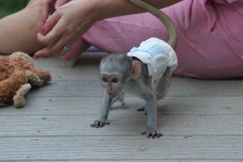 Capuchin marmoset monkeys for sale.-image-1