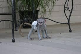 Capuchin marmoset monkeys for sale.-image-2