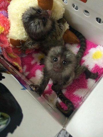 Beautiful Marmoset Monkeys Available –-image-1