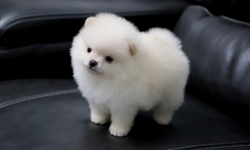 Absolutely Luxurious, cream/white Pomeranian boy-image-1