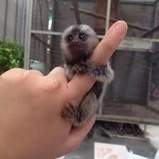 Beautiful Marmoset Monkeys Available –-image-2