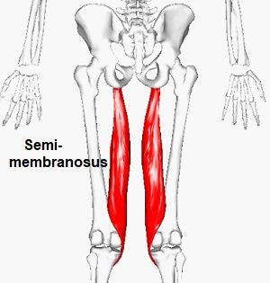 Musculus-semimembranosus-hamstring.jpg