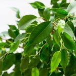 Ficus Benjamin pianta anti umidità