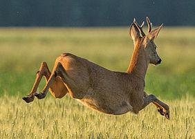 Springendes Reh