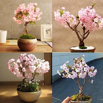 Wongfon Semi di Sakura giapponesi rari Fiore dei bonsai Semi di rosa Cherry Blossom Casa Decorazione del giardino 20 semi - 3