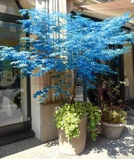 100% reale giapponese fantasma blu Acero Bonsai Semi, 10 Semi / Pack, Acer palmatum atropurpureum, Bonsai SOW TUTTO L'ANNO - 1