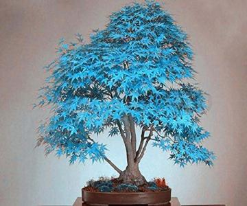 100% reale giapponese fantasma blu Acero Bonsai Semi, 10 Semi / Pack, Acer palmatum atropurpureum, Bonsai SOW TUTTO L'ANNO - 5