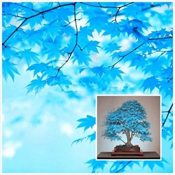 100% reale giapponese fantasma blu Acero Bonsai Semi, 10 Semi / Pack, Acer palmatum atropurpureum, Bonsai SOW TUTTO L'ANNO - 2