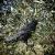 Blossom Design Corvo Scacciapiccioni 2a Generazione Spaventapasseri Scacciacolombi Dissuasore Anti Piccioni Colombi Passeri Uccelli Decorazioni Giardino Decorazioni Balcone - 1