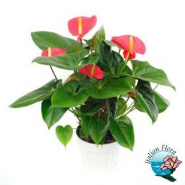 Pianta di Anthurium rossa - Consegna in Italia.