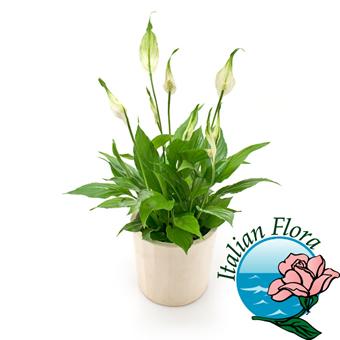 pianta di spathiphyllum - Consegna in Italia.