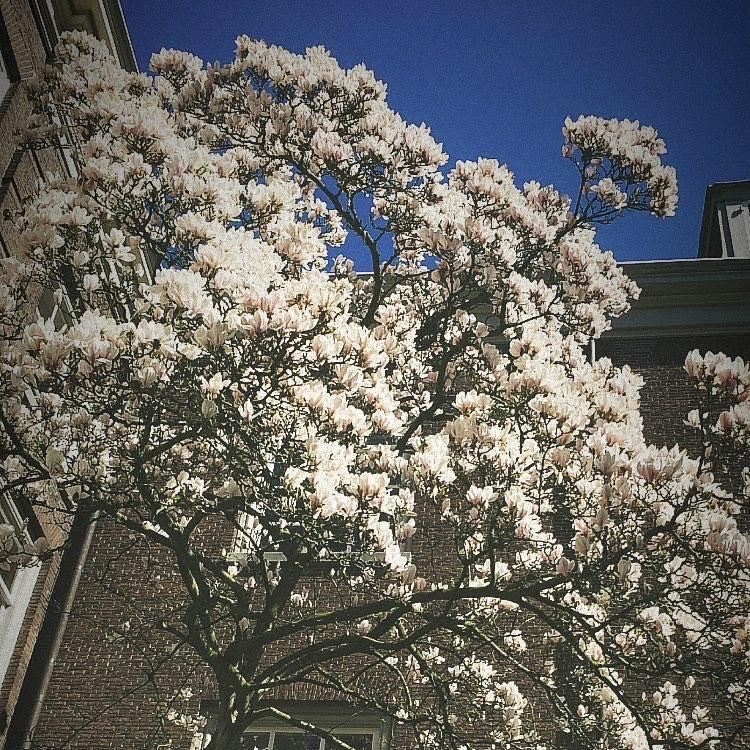 De magnolia in de binnentuin in volle pracht