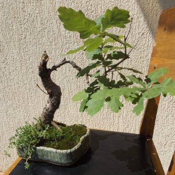 Gražuolis bonsai – ąžuolas