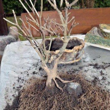 Šiltas kovas ir bonsai