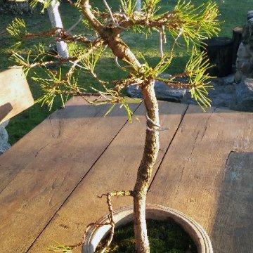 Formuojamas bonsai – pušis