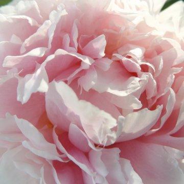 "Pinavija ""Sarah Bernhardt"""