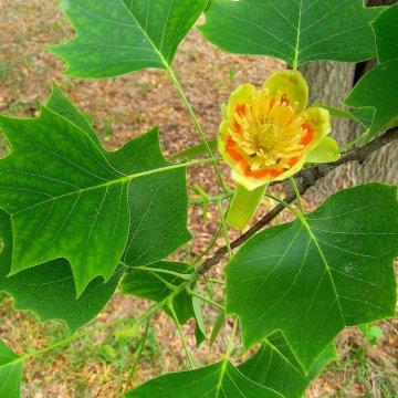 Gėlių žiedus mėgdžiojantis Gelsvažiedis tulpmedis