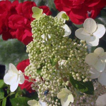 """Ilgai žydinti šluotelinė hortenzija """"Grandiflora"""""""