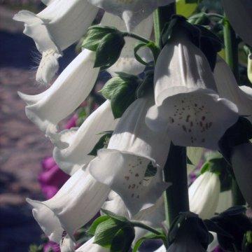 Dekoratyvinis augalas Rusmenė