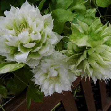 """Laipiojantis grožis – raganės """"Duchess of Edinburg"""""""